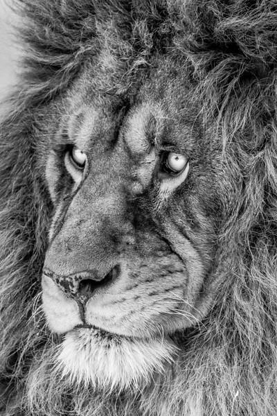 Lion, 2013-26