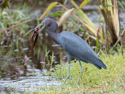 Little Blue Heron Jan 2018-8434