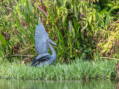 Little Blue Heron Jan 2018-7763