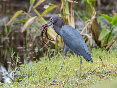 Little Blue Heron Jan 2018-8432