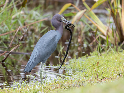 Little Blue Heron Jan 2018-8423
