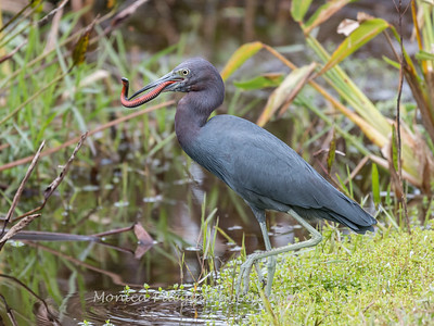 Little Blue Heron Jan 2018-8462