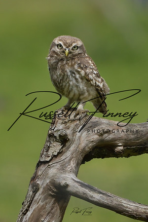 Little Owl russellfinneyphotography (19)_03