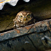 Little Owl russellfinneyphotography (2)