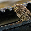 Little Owl russellfinneyphotography (3)