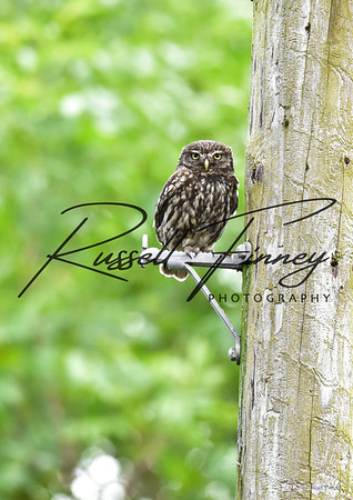 Little Owl russell finney photography a (2)