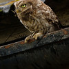 Little Owl russellfinneyphotography (9)