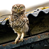 Little Owl russellfinneyphotography (7)