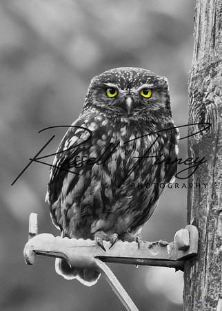 Little Owl russell finney photography a (1)