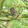 Little Owl russell finney photography a (3)