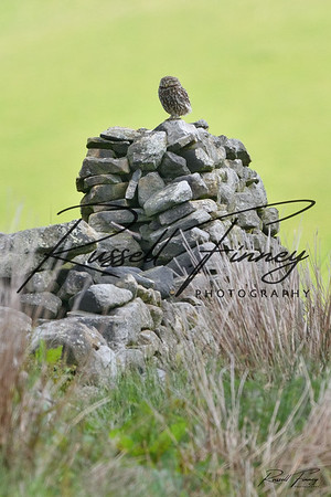 Little Owl russellfinneyphotography (23)