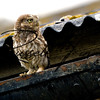 Little Owl russellfinneyphotography (5)