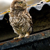 Little Owl russellfinneyphotography (6)