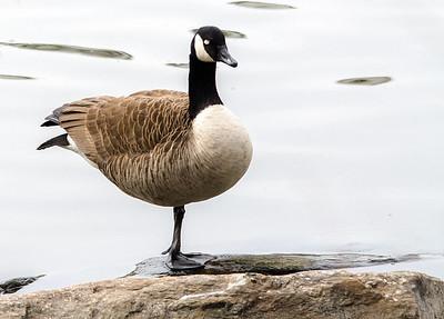 Livingston-Ripley Waterfowl