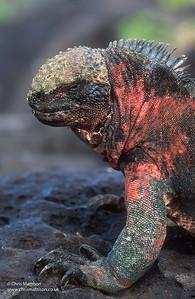 Marine Iguana ( red form) Amblyrthynchus cristatus venustissimus, Espanola(Hood) Galapogos,