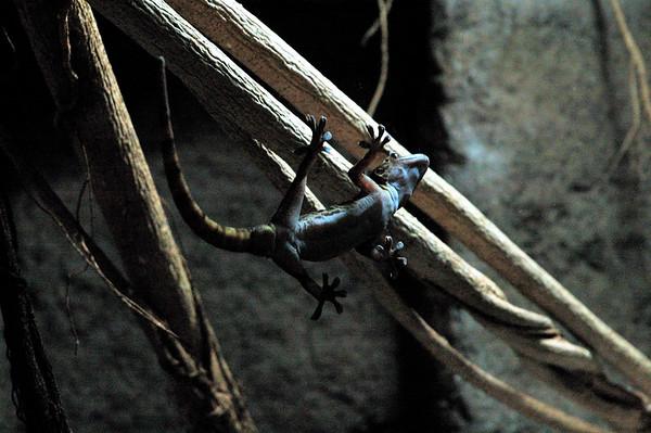 Gecko. Territory Wildlife Park