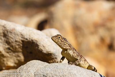 Ground Agama, Agama aculeata, Cederberg Mountains, Western Cape, South Africa
