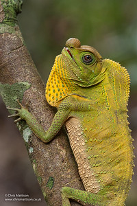 Hump-nosed Lizard, Hump Snout Lizard, Lyriocephalus scutatus, Sri Lanka. Family Agamidae