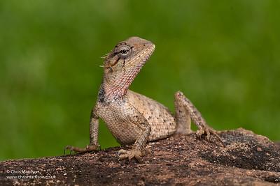 Calotes versicolor, Garden Lizard, Sri Lanka. Family Agamidae