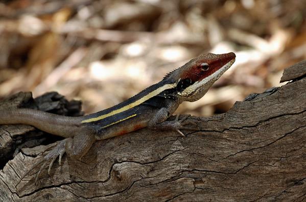 Long-nosed Dragon, Lophognathus longirostris. Standley Chasm
