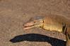 Water Monitor, Varanus mertensi. Kakadu National Park