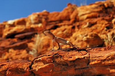 Ring-tailed Dragon, Ctenophorus caudicinctus slateri, Agamidae