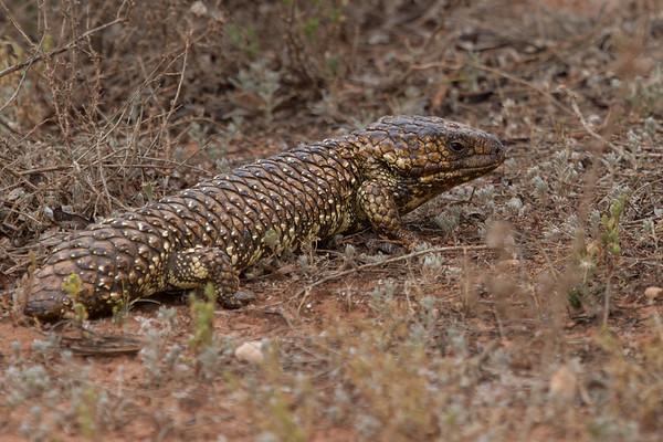 Stumpy-tail Lizard (Tiliqua rugosa) - Gluepot, South Australia