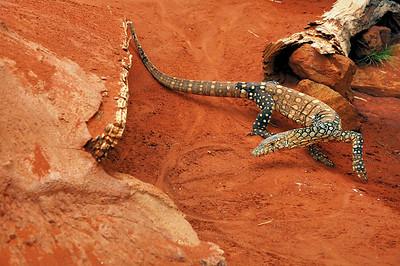 Perentie, Varanus giganteus. Alice Springs Reptile Centre