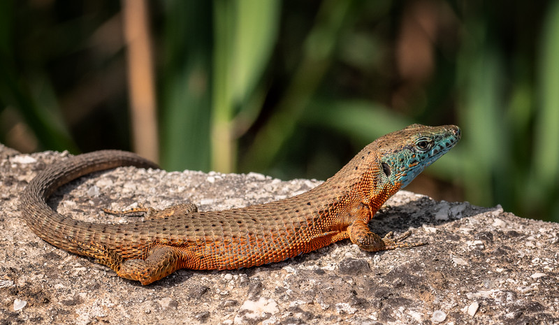 Wall Lizard in Gouvia, Corfu