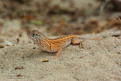 Three-eyed Lizard, Chalarodon madagascariensis, Ifaty, Madagascar. Opluridae,