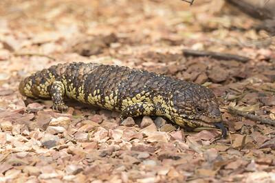 Sleepy Lizard (Tiliqua rugosa) - Australian Arid Lands Botanic Gardens (Port Augusta), South Australia