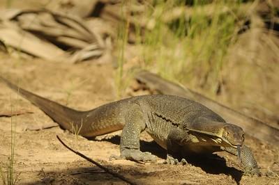 Varanus. Elsey National Park