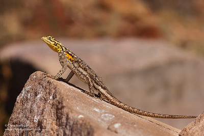 Namib Rock Agama, Agama planiceps, female, Twyfelfontein, Namibia. Family Agamidae.