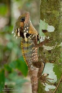 Boyd's Forest Dragon, Hypsilurus boydii, Queensland, Australia