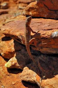 Ring-tailed Dragon, Ctenophorus caudicinctus slateri, Agamidae. Kings Canyon, Watarrka National Park, December