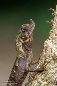 Horned Forest Dragon, Aphaniotis ornata, Danum Valley, Borneo. Agamidae.