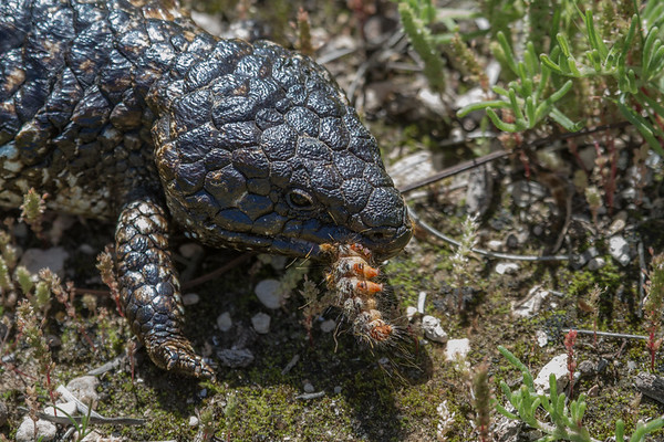 Lizard - Cadell, South Australia