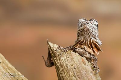 Frilled lizard, Chlamydosaurus kingii, juvenile, Australia