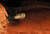 Perentie, Varanus giganteus