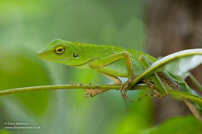 Green Crested Lizard, Bronchocela cristatella, Sukau, Borneo, Sabah, Malaysia. Family Agamidae