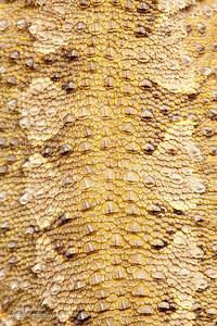 Rankin's dragon, Pogona henrylawsoni, close-up of scales