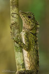 Borneo forest dragon, Gonocephalus borneensis, Danum Valley, Sabah, Borneo (East Malaysia)