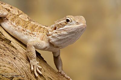 Rankin's dragon, Pogona henrylawsoni, Australia