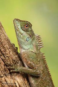Mountain horned lizard, Acanthosaura crucigera, Asia