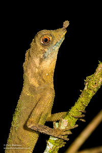 Horned Forest Dragon, Aphaniotis ornata, Danum Valley, Borneo