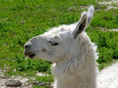 Llama - Salt