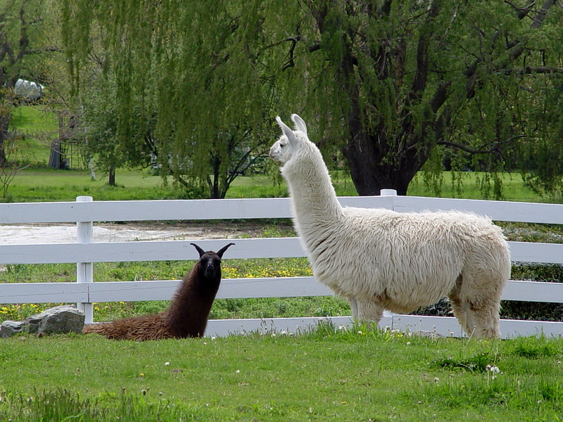 Llama <i>(Lama glama)</i> - Clover and Salt - Clover, the brown llama, was most curious . . . probably because he/she thought I had food with me.  Salt, the white one, on the other hand, just totally ignored me.  <br><br>Llamas are members of the camel (camelid) family. Camelids originated on the central plains of North America where they lived 40 million years ago. Three million years ago llama-like animals dispersed to South America. By the end of the last ice age (10,000-12,000 years ago) camelids were extinct in North America. Llamas were domesticated from guanacos in the Andean highlands of Peru 4,000-5,000 years ago and are among the oldest domestic animals in the world. Primarily a beast of burden, they provided native herdsmen with meat, wool for clothing, hide for shelter, pellets for fuel and offerings to their gods. Today there are over 100,000 llamas in the United States and Canada.