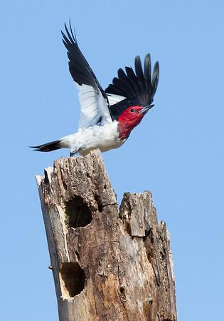red headed woodpecker, April in Chester, VA