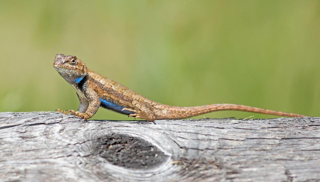 eastern fence lizard in breeding colors, May on Cold Harbor Battlefield, Mechanicsville, VA