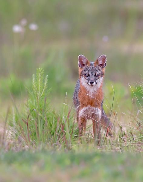 gray fox, July in Chester, Virginia